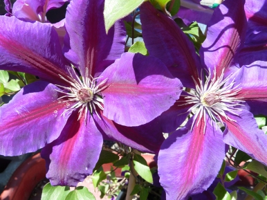 Large-flowering purple Clematis in bloom