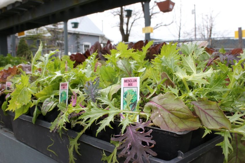 Mesclun Mix lettuce starts