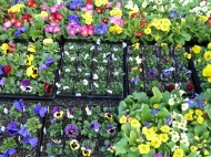 Spring bedding: pansies and primroses