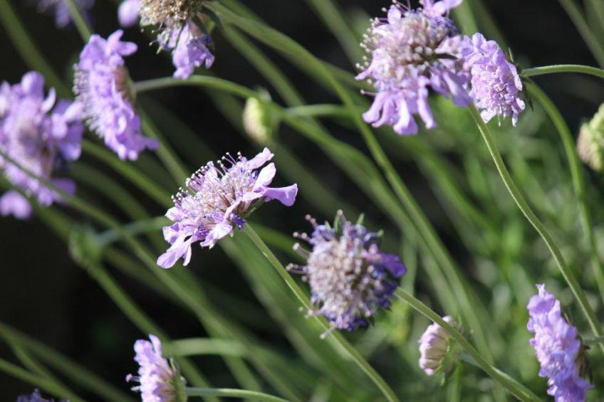 Blue Pincushion flowers are a favorite perennial