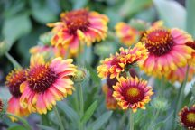 Red and yellow Blanket Flowers with long-lasting summer blossoms