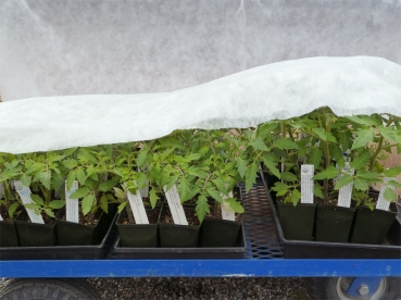 Frost-sensitive tomatoes arrive at the Nursery: a little frost cloth helps protect them at night
