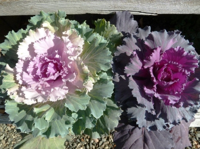 Ornamental cabbage brighten the fall garden