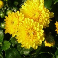 Yellow garden mums for vibrant flowers in autumn