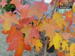 A Green Mountain Maple tree showing off its fabulous fall color