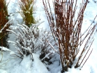 A little snow on our bareroot shrubs