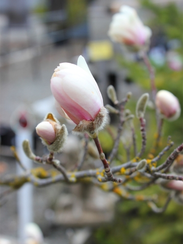 Saucer Magnolia buds just starting to open