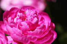 Vibrant pink peony blossom