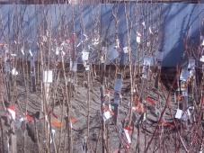 A great selection of fruit trees in bareroot