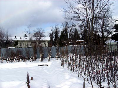 Bareroot fruit and ornamental trees