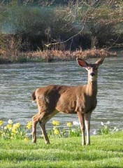 Doe on Trinity River bank