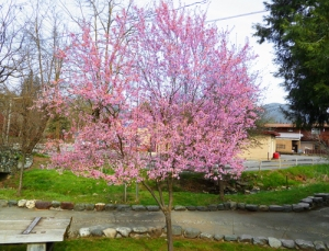 Flowering plum Arbor Day tree at Highland Art Center