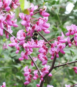 Western Redbud, Cercis occidentalis