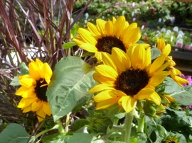 trinity-nursery-sunflower