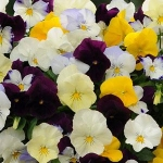 Cool Wave Pansies at Trinity Nursery